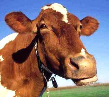 Ah, la vache!