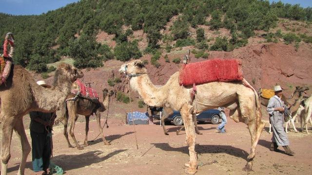 Maroc ballades a dos de chameau dans  la vallee de l'Ourika