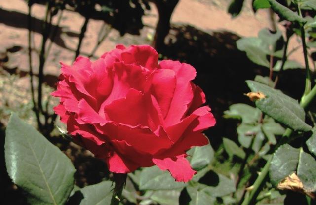 Une rose du Maroc